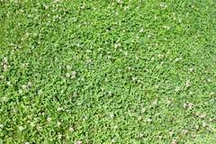 Pré d'herbe verte Image stock