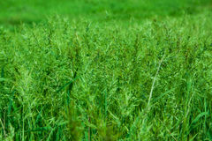 Pré d'herbe verte Images stock