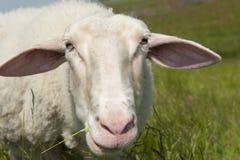 Pré d'herbe verte de moutons de portrait Image stock