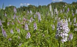 Pré d'orchidée repéré par terrain communal Photographie stock libre de droits