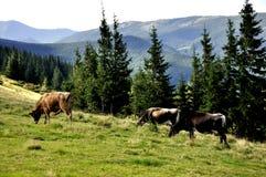 Pré dans les montagnes avec des arbres et des vaches photos libres de droits