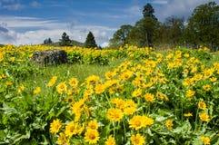 Pré de Balsamroot en fleur avec les fleurs jaunes Photo libre de droits