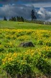Pré de Balsamroot en fleur avec les fleurs jaunes Photo stock