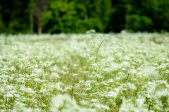 pré de campagne de milieu de l'été avec des fleurs Photo libre de droits