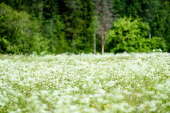pré de campagne de milieu de l'été avec des fleurs Image libre de droits