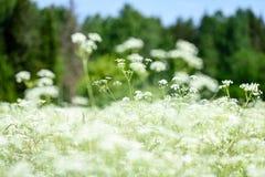 pré de campagne de milieu de l'été avec des fleurs Photos stock