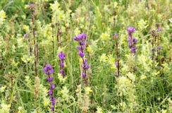 Pré de campanule de cloches et de luteum pourpres de Galeobdolon de jaune sur l'herbe verte de fond photographie stock libre de droits