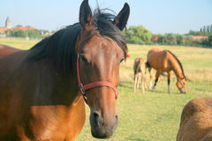 pré de chevaux Photo libre de droits