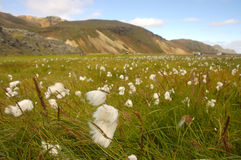 pré de Coton-herbe en Islande. Photo stock