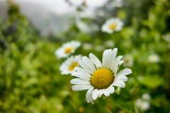 Pré de fleurs blanches de marguerites blanches dans les montagnes Photos libres de droits