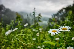 Pré de fleurs blanches de marguerites blanches dans les montagnes Images libres de droits