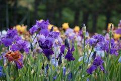 Pré de floraison de fleurs d'iris Photos libres de droits