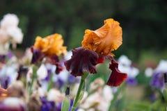 Pré de floraison de fleurs d'iris Images libres de droits