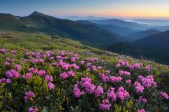 Pré de floraison de rhododendron dans les montagnes Images stock