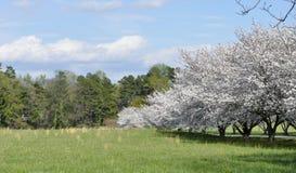 Pré de la Caroline du Nord avec des cerisiers Photographie stock
