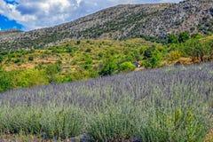 Pré de lavande en Crète Photographie stock