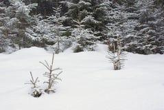 Pré de Milou avec des pousses d'arbre dans la forêt d'hiver Photographie stock libre de droits