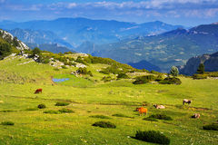 Pré de montagne avec des vaches Photographie stock