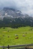 Pré de montagne d'herbe avec des vaches Images stock