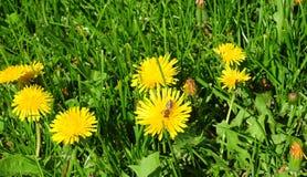 Pré de panorama de pissenlits avec l'abeille de miel Le Taraxacum est un grand genre des usines fleurissantes dans le pissenlit c Image libre de droits