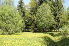 Pré de pissenlit avec l'été d'arbres Images libres de droits