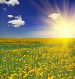 Pré de pissenlit sous le soleil Images libres de droits