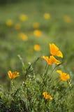 Pré de printemps des pavots d'or Photographie stock libre de droits