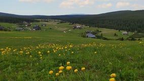 Pré de ressort avec des globeflowers jaunes au village de montagne de Jizerka, République Tchèque banque de vidéos