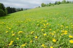 Pré de ressort avec l'herbe verte et les pissenlits Images stock