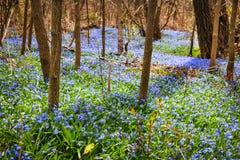 Pré de ressort avec la gloire-de-le-neige bleue de fleurs photographie stock libre de droits