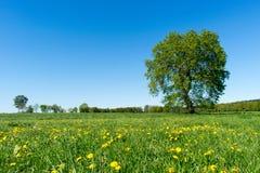 Pré de ressort avec le grand arbre et pissenlits en été Image stock