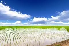 Pré de riz Photos stock