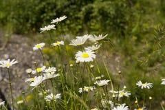Pré de Wildflower des marguerites des prés Photographie stock libre de droits