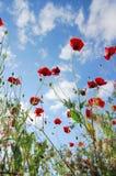 Pré de Wildflower Pavot rouge Photo stock