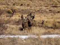 Pré des cerfs communs de mule Image libre de droits