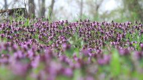 Pré des fleurs de ressort au bord de la forêt banque de vidéos