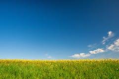 Pré des fleurs jaunes sur le fond de ciel bleu Photographie stock libre de droits