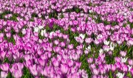 Pré des fleurs roses et blanches de crocus photographie stock libre de droits