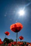 Pré des pavots avec le soleil d'été Image libre de droits