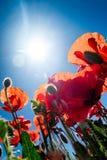 Pré des pavots avec le soleil d'été Images stock