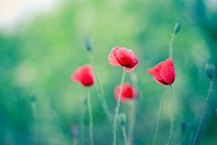 Pré des pavots rouges de floraison avec le fond de bokeh Photos stock