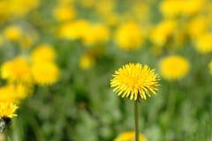 Pré des pissenlits jaunes photo libre de droits