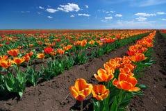 Pré des tulipes Photos libres de droits