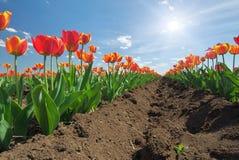 Pré des tulipes Photographie stock