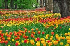 Pré des tulipes et des arbres Image libre de droits