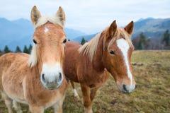 pré deux de l'Italie de chevaux de dolomites Photos libres de droits
