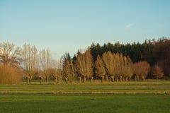 Pré ensoleillé d'hiver avec les saules pollarded nus et forêt de pin à l'arrière-plan Images stock