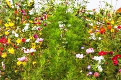 Pré ensoleillé de fleur Images libres de droits
