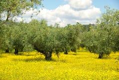 Pré et olivier Photographie stock libre de droits
