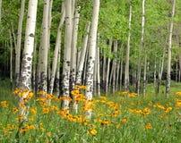 Pré et Wildflowers d'Aspen Photos libres de droits